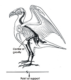 of standing on one leg  Eagle Leg Anatomy